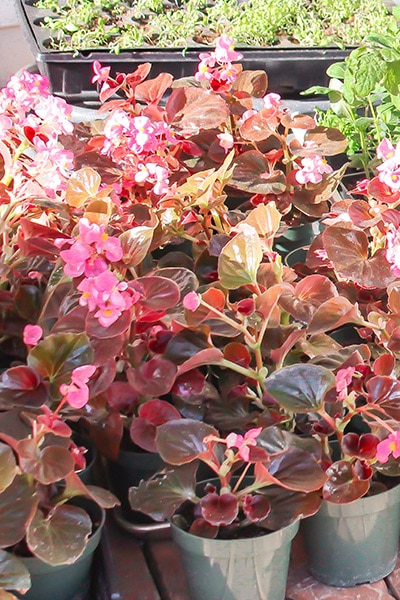 small pots of fibrous begonias ready to be planted.