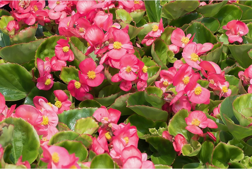 Bright pink fibrous begonias in full bloom.