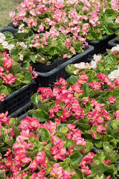 Flats of pink and white fibrous begonia seedlings