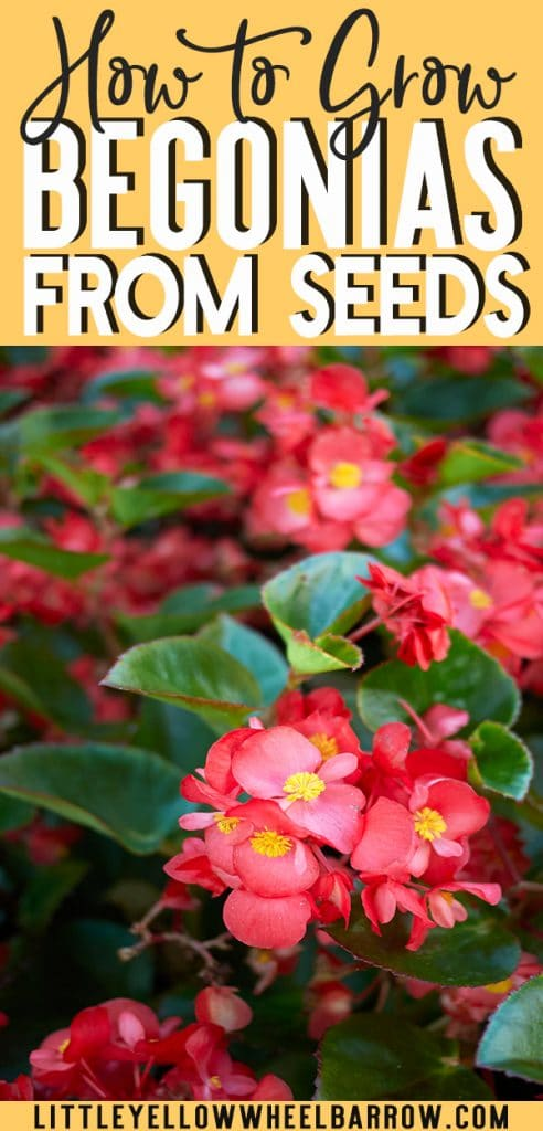 An indoor gardening guide that explains how to start begonias from seed.  This guide lists the requirements to grow fibrous and tuberous begonias at home.