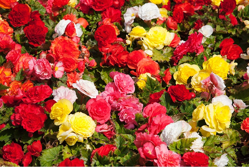 fully bloomed brightly coloured tuberous begonias
