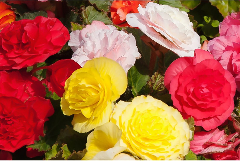 Colourful tuberous begonias in full bloom.