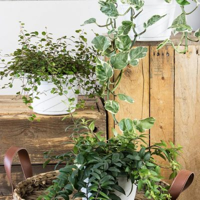 The Three Best Indoor Hanging Plants for Baskets