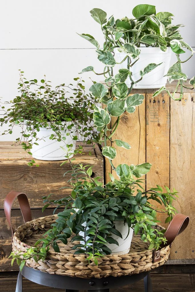 indoor hanging plants arranged on a rustic boxes