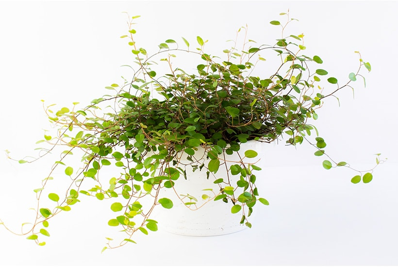 Maidenhair vine indoor plant against a white background