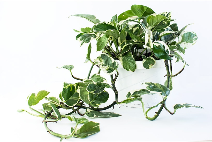 Pothos indoor hanging plant pearl and jade against a white background