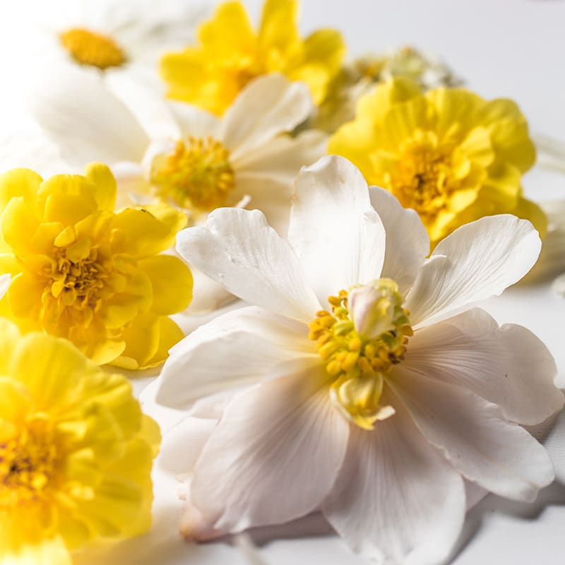 White begonias with yellow cosmos on a bright white backdrop