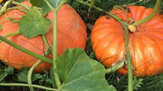 Grow Cinderella Pumpkins for High Yield Harvests.
