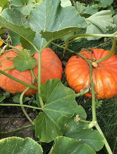 Cinderella pumpkins growing in a raised bed.