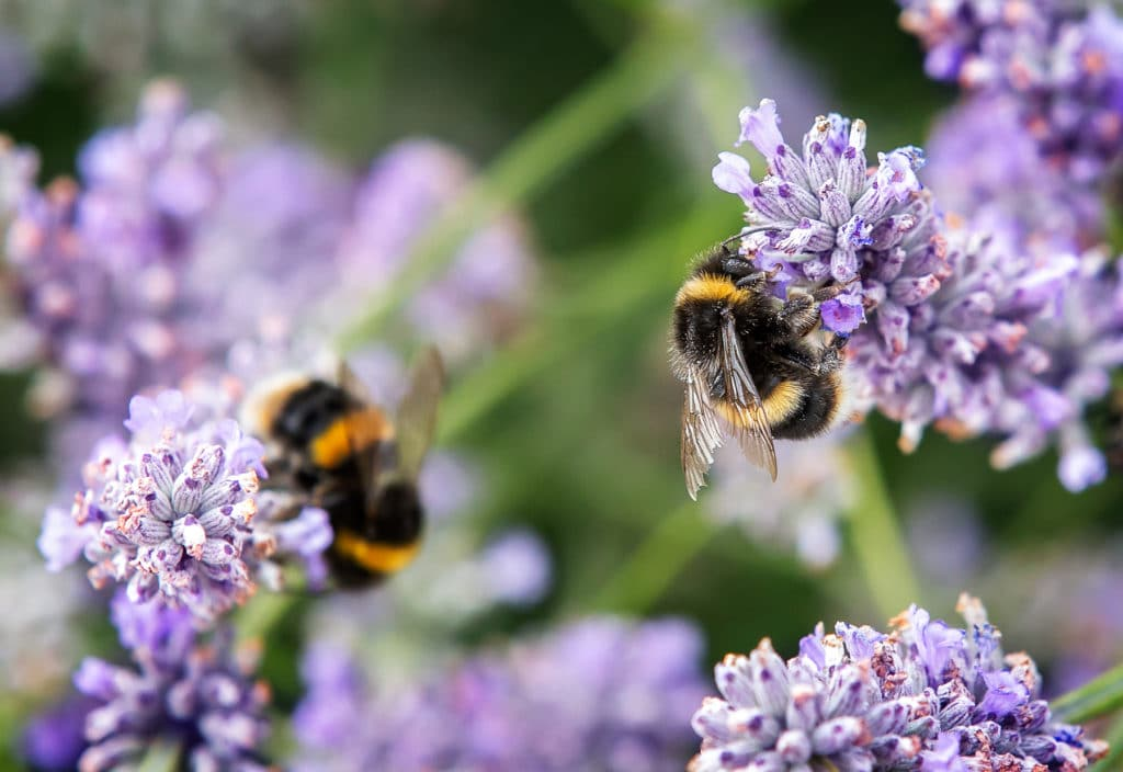 Bees collecting pollen from lavender flowers