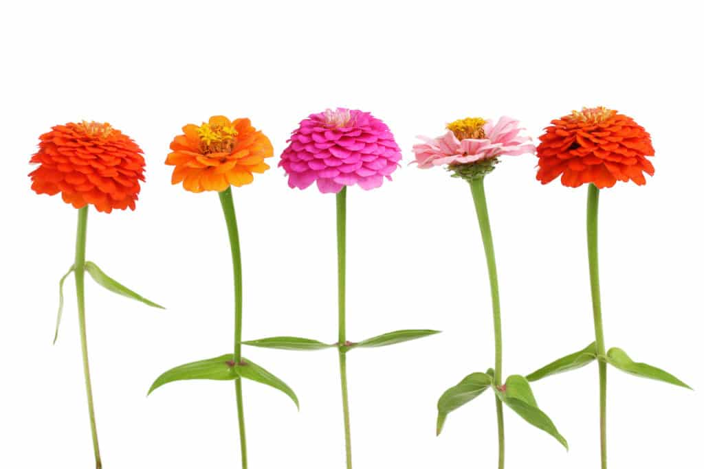 row of fluffy colorful zinnia flowers against a bright white isolated background