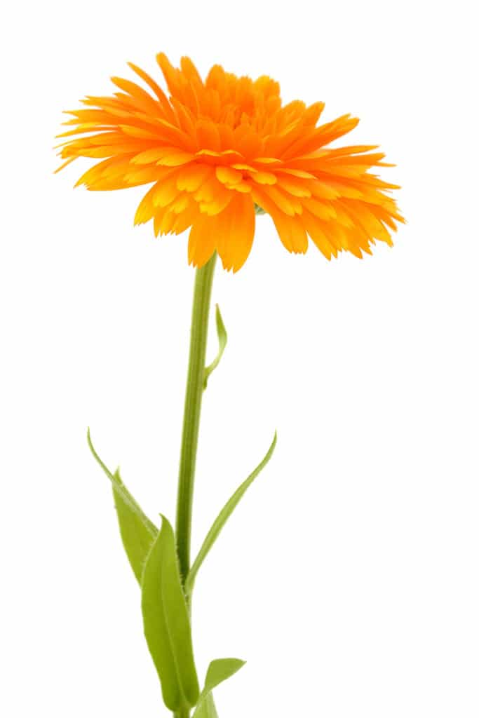 A single brilliantly orange marigold against a bright white background