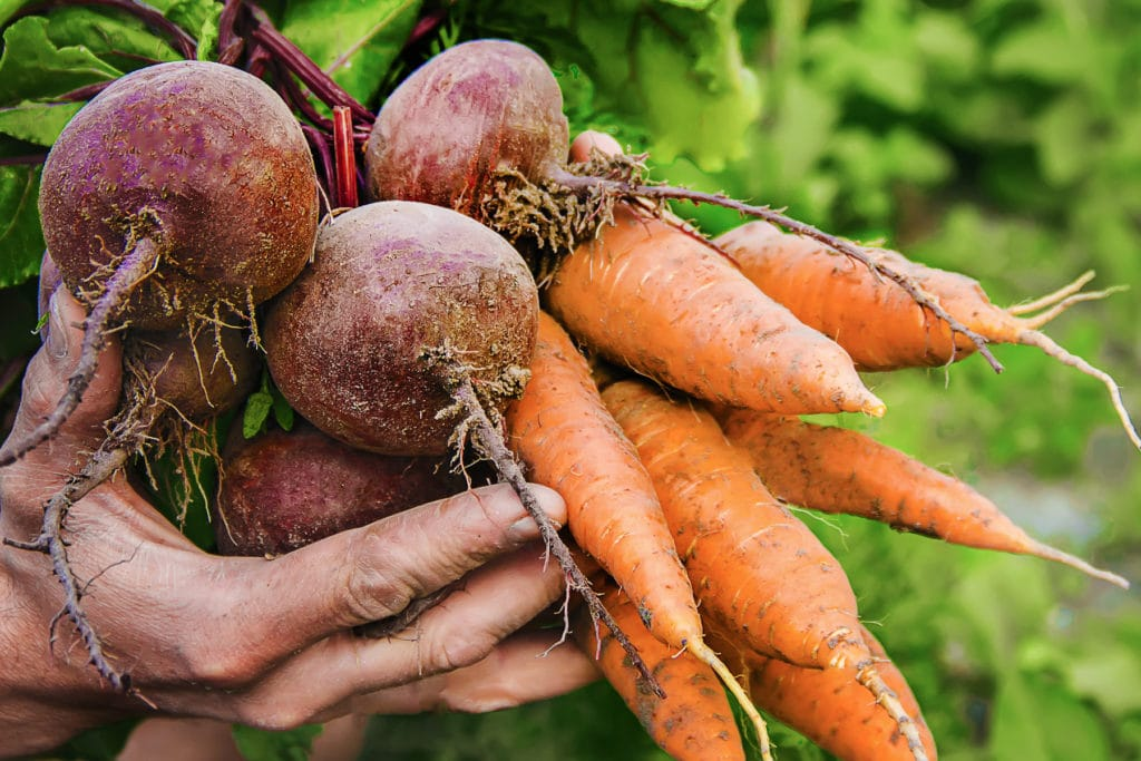 A gardeners hand filled with easy to grow vegetables like beets and carrots