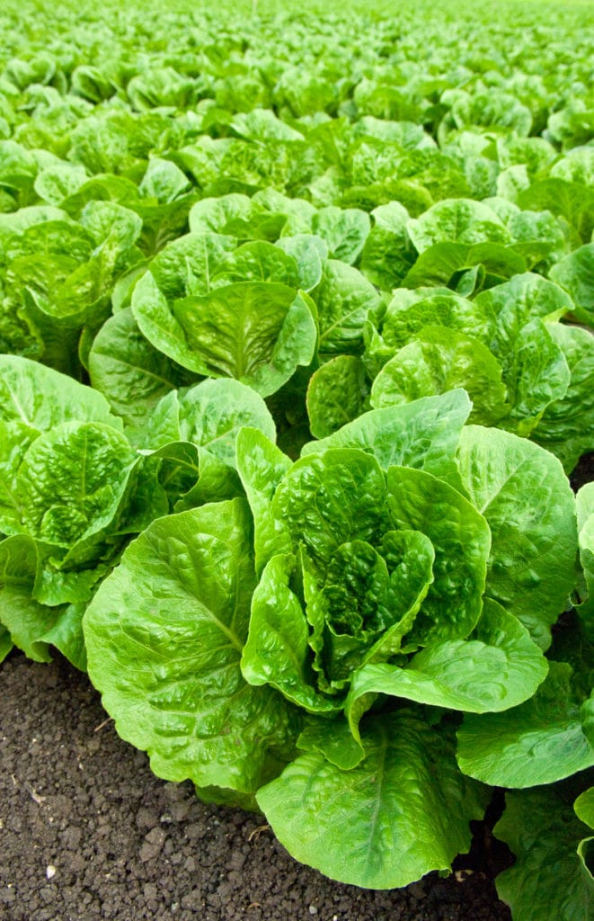 A garden full of fresh green lettuce in perfectly grown rows