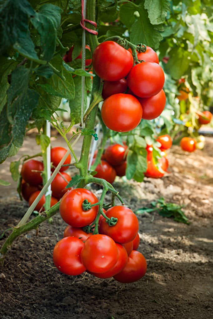 Bright red tomatoes still on the vine
