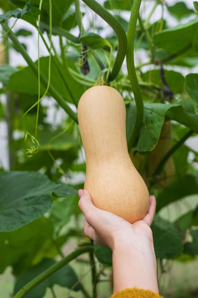 A large butternut squash being picked from the vine