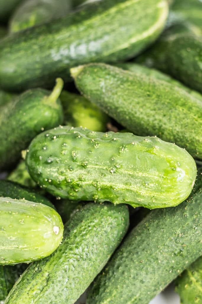 A pile of freshly picked pickling cucumbers