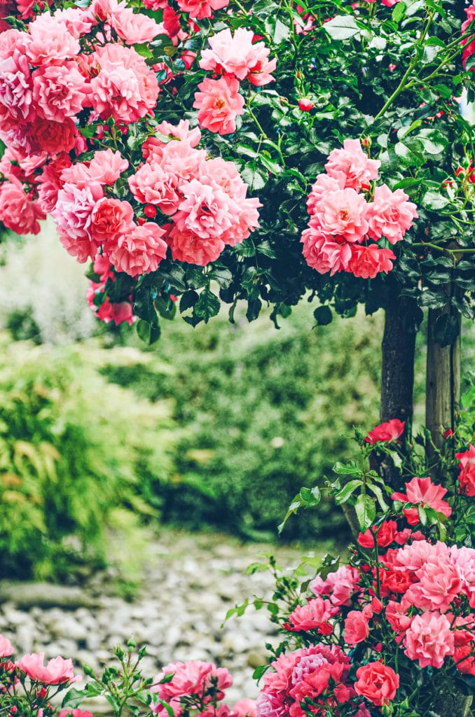 Rose bush espalier blooming in red and pink colours in the garden