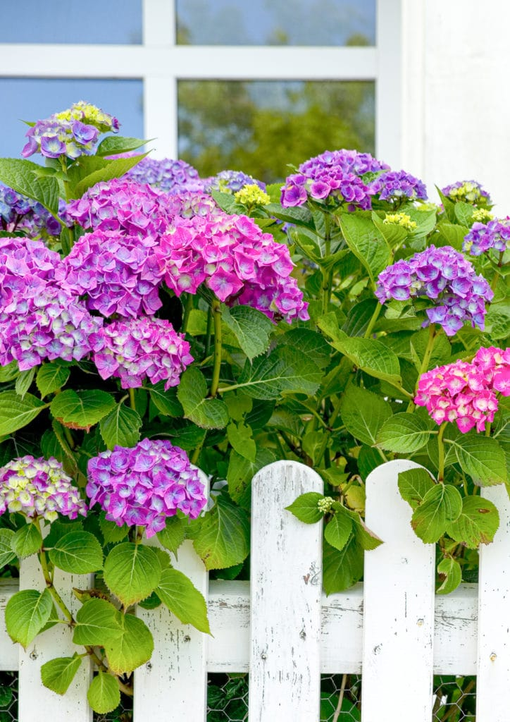 Vibrant pink, purple and violet hydrangea bushes in front of a vintage white picket fence.