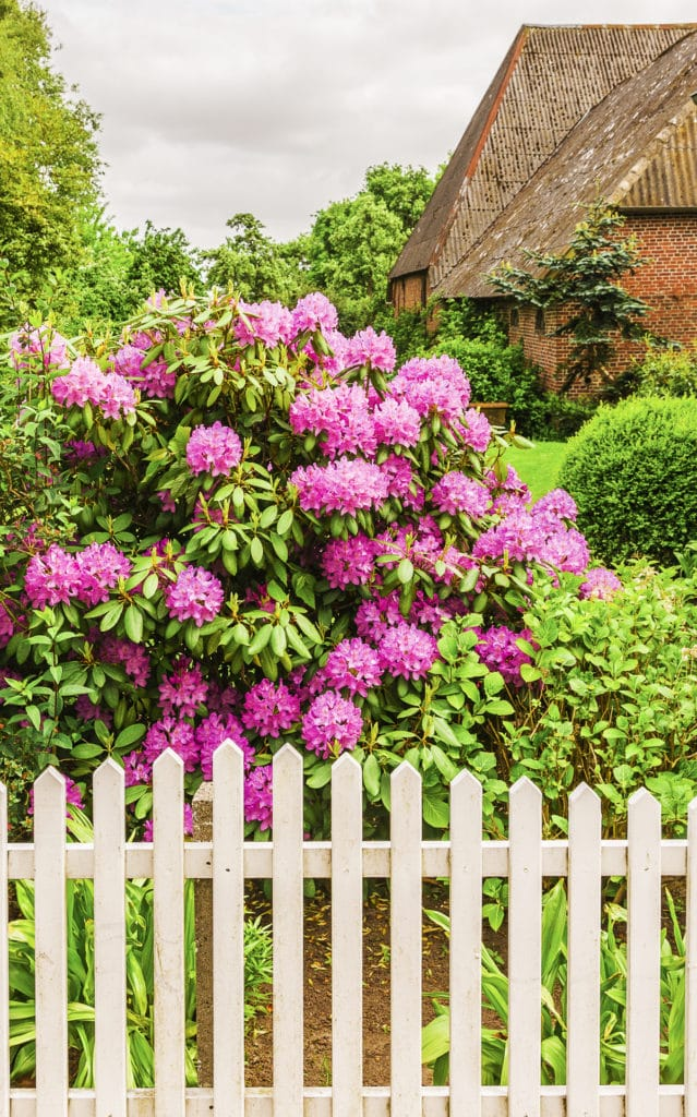 Large bright green bush with vibrant violet flowers with a cottage style white picket fence in front.