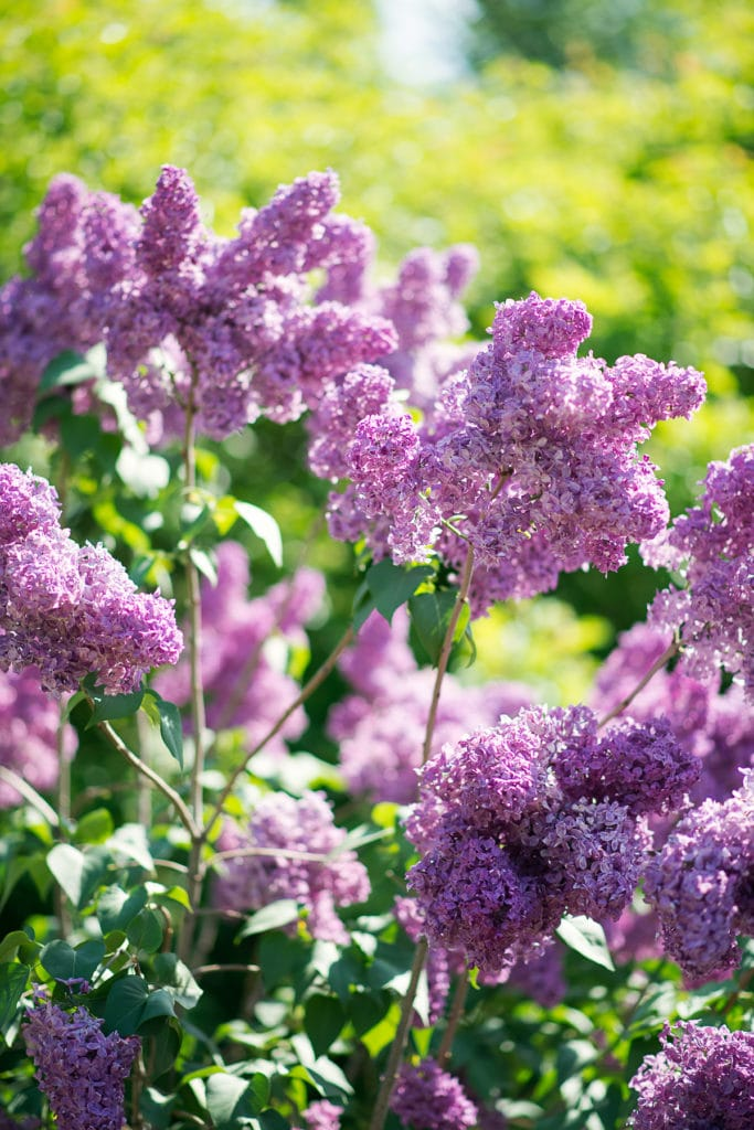 Blooming lilac bushes with warm dappled sunlight, with bright purple blooms and dark green leaves. .