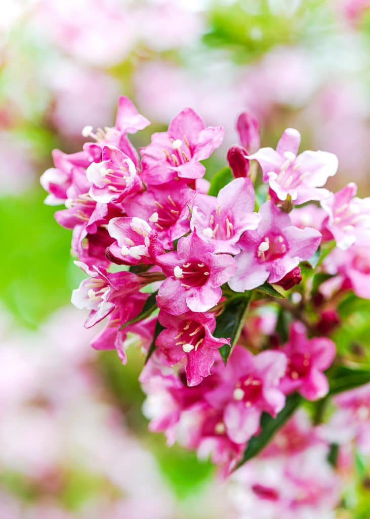 Bright pink delicate Weigela bush flowers in focus, with a dappled green and pink out of focus background