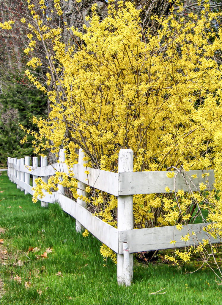 A large flowering forsythia shurb in full bloom against a rustic white picket fence