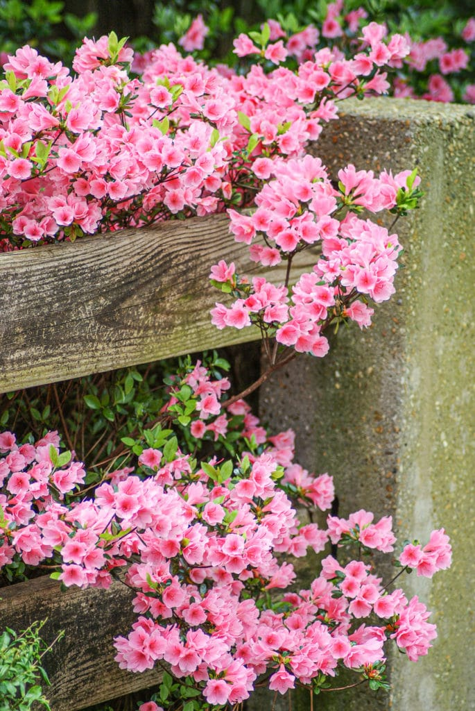 Delicate pink Azalea shrub growing over and under a rustic wooden fence.