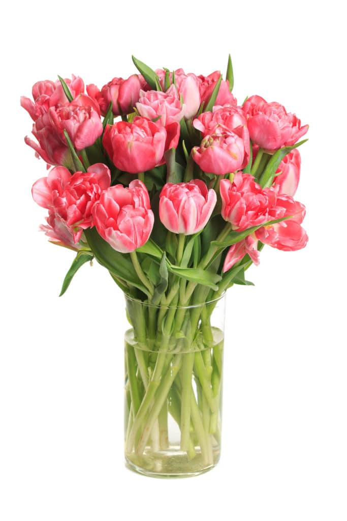 Bouquet of pink tulips in a glass vase isolated on white background.