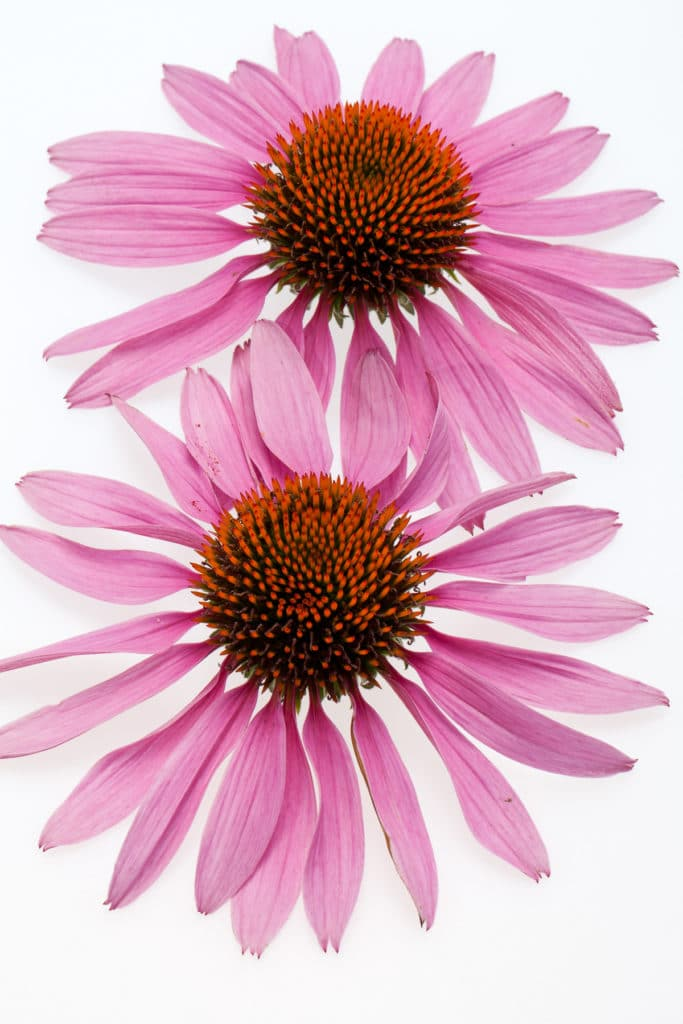 Big beautiful pink coneflower heads against a bright white isolated background.