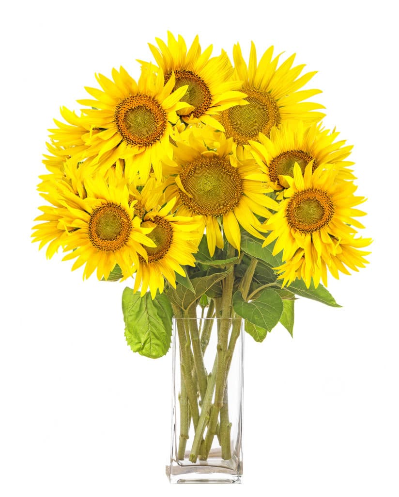 Big bright yellow sunflowers in a clear square vase against a bright white isolated background.