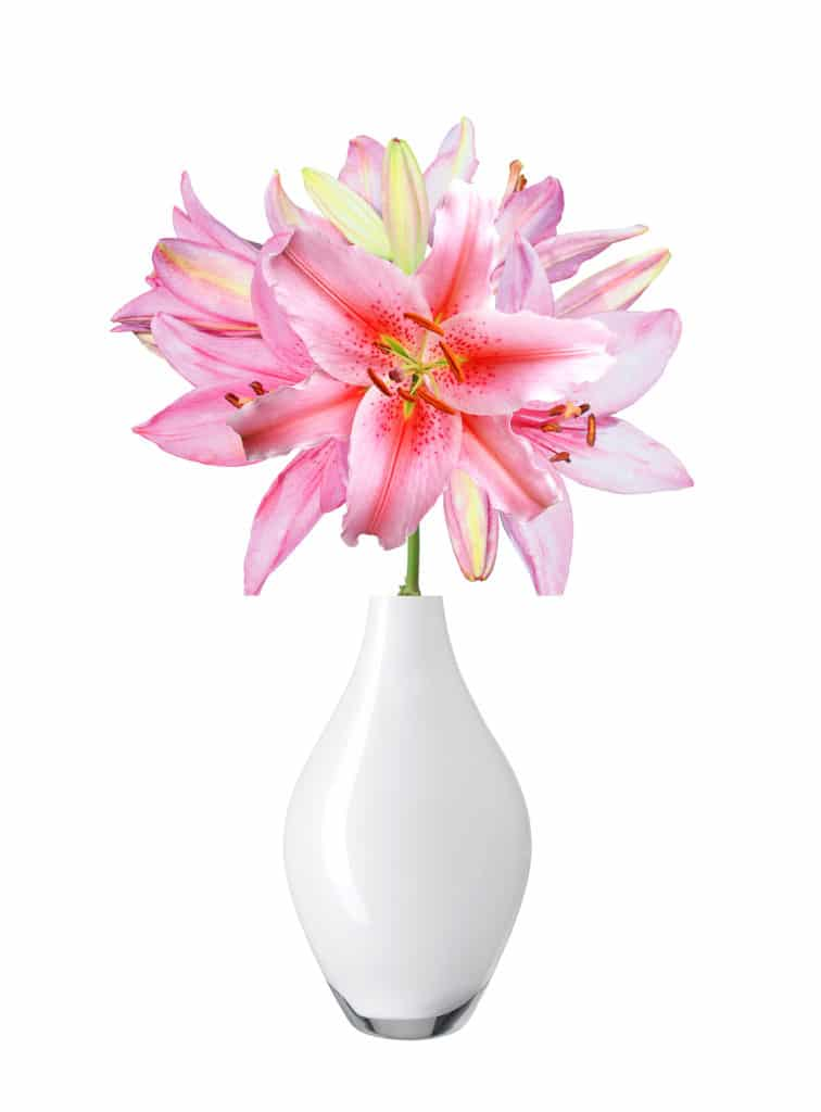 Beautiful pink lily in vase isolated on white background