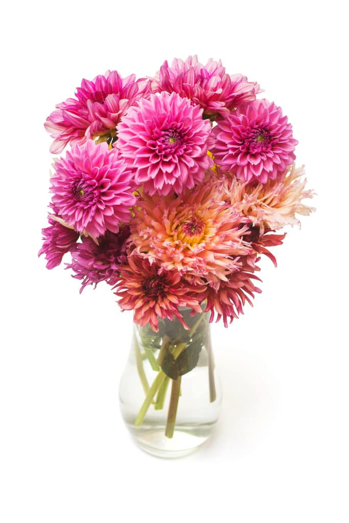 Bouquet flower of beautiful fashionable pink dahlia ia a vase isolated on white background
