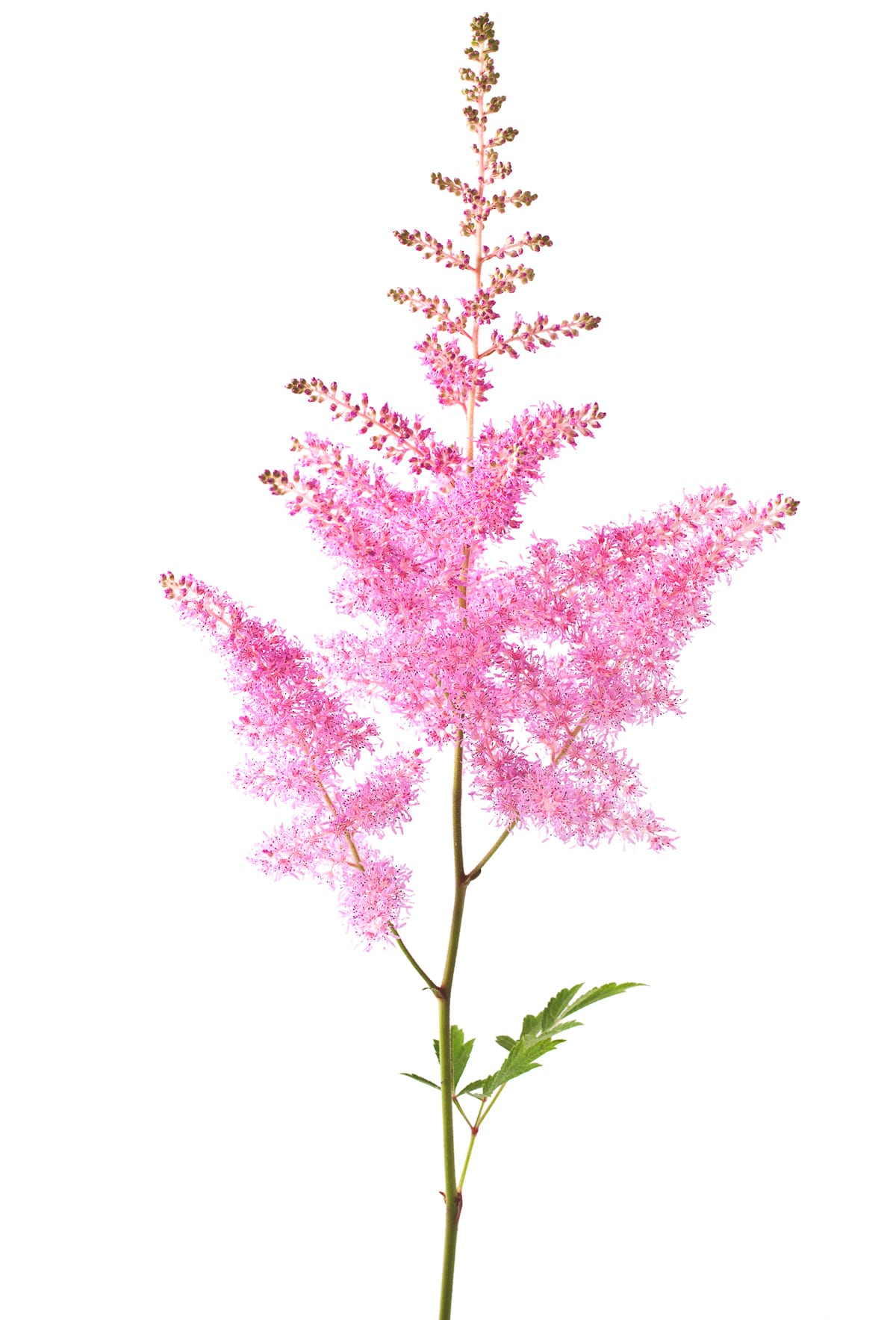 A bright pink wispy sprig of Astilbe flower against a bright white background