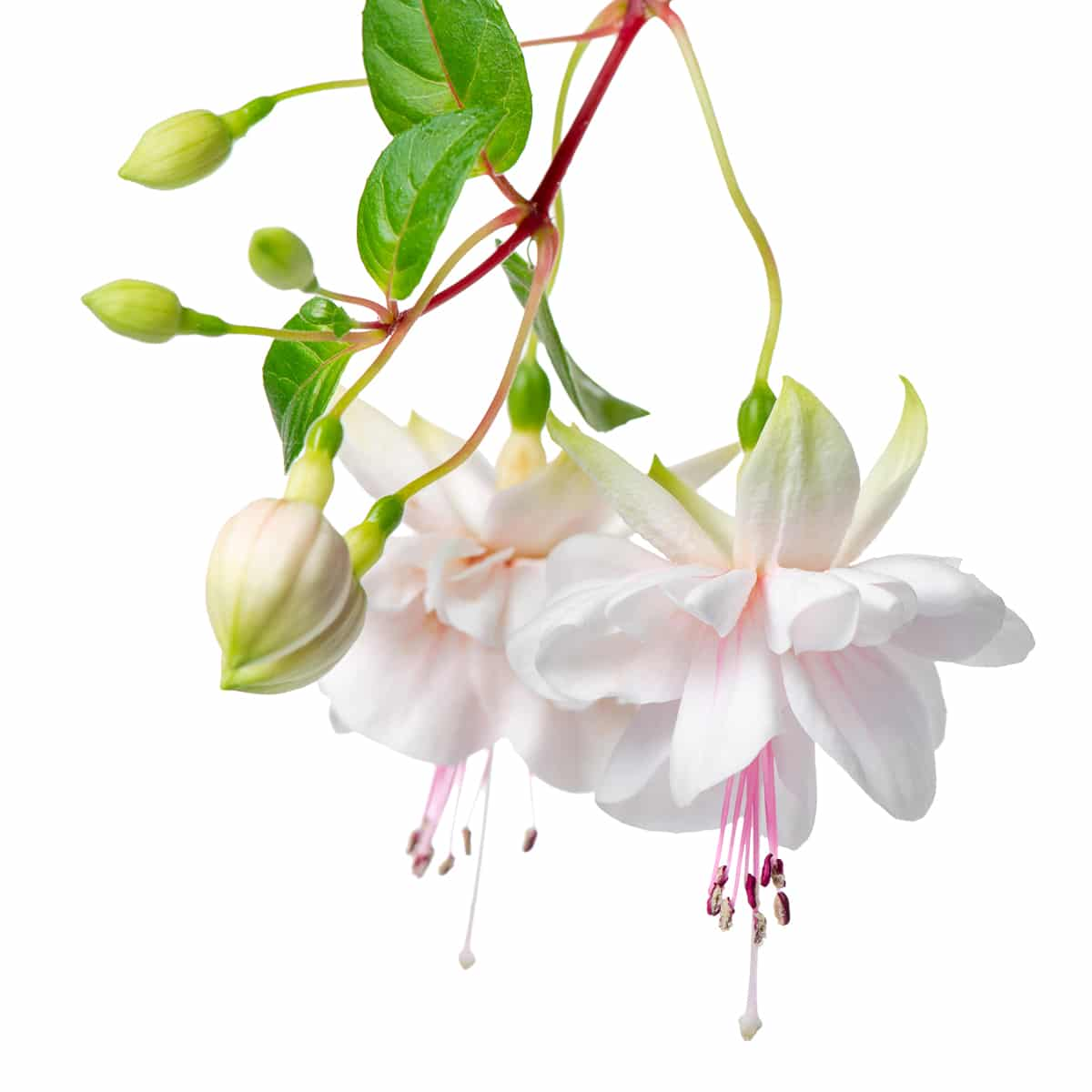 Two soft white fuscia flowers isolated against a bright white background.