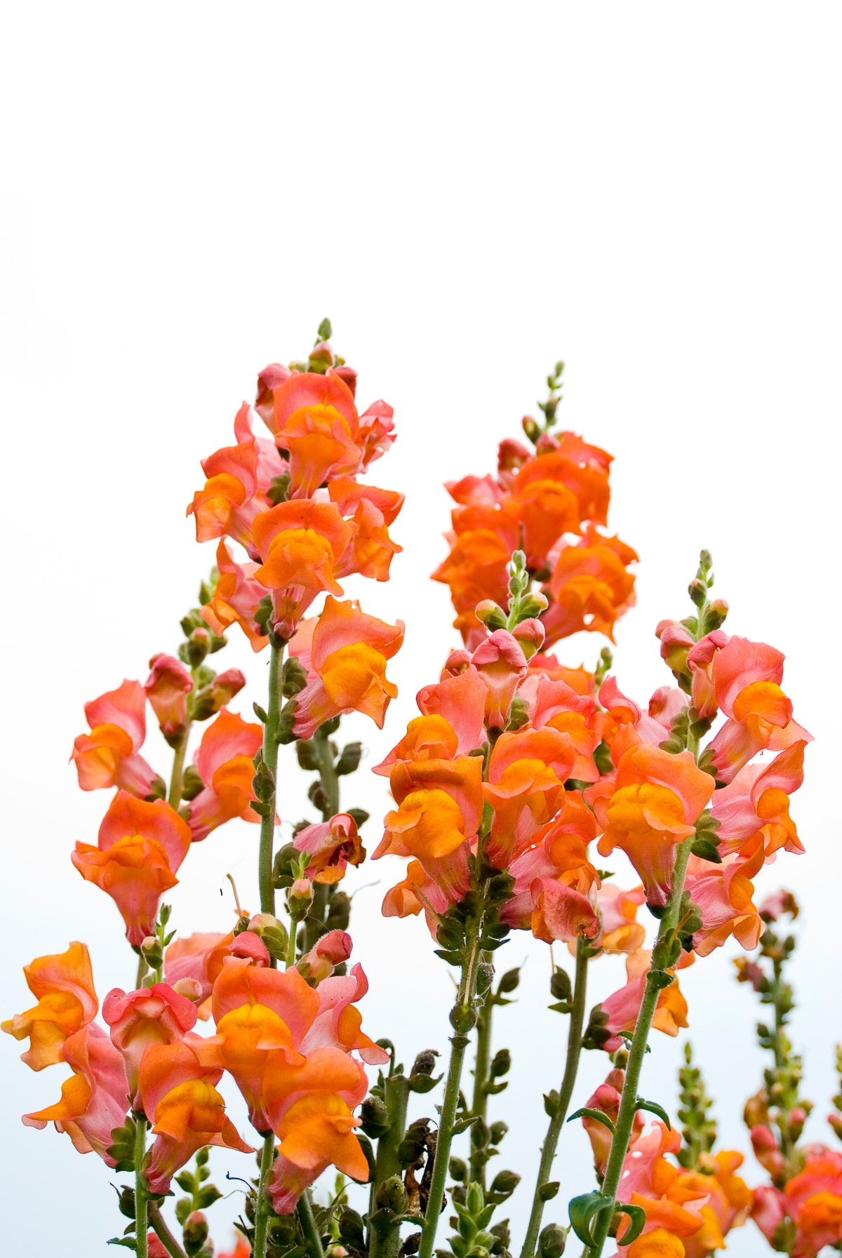 Orange snapdragons against a bright white background