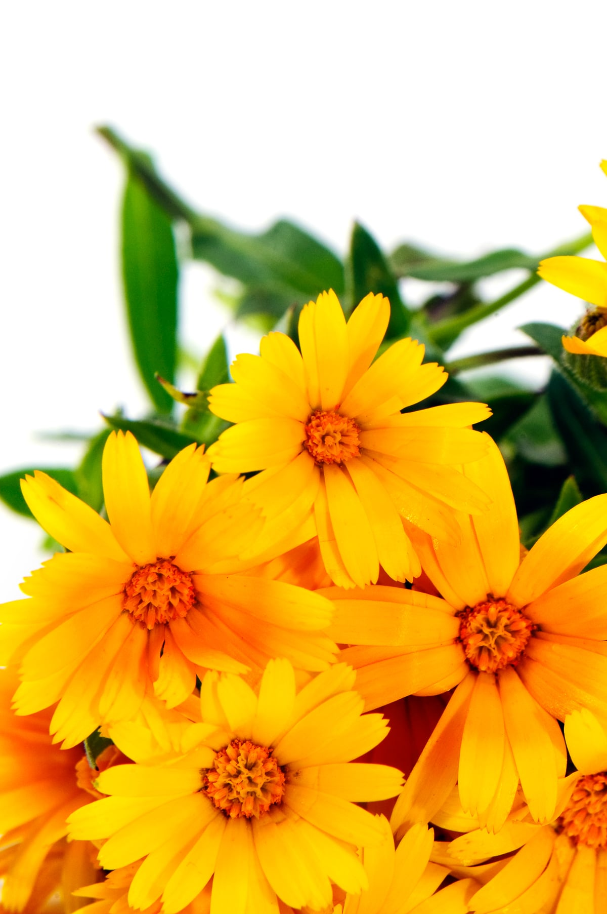 Very bright yellow calendula flowers with orange centers  and dark wax like leaves against a bright white background.