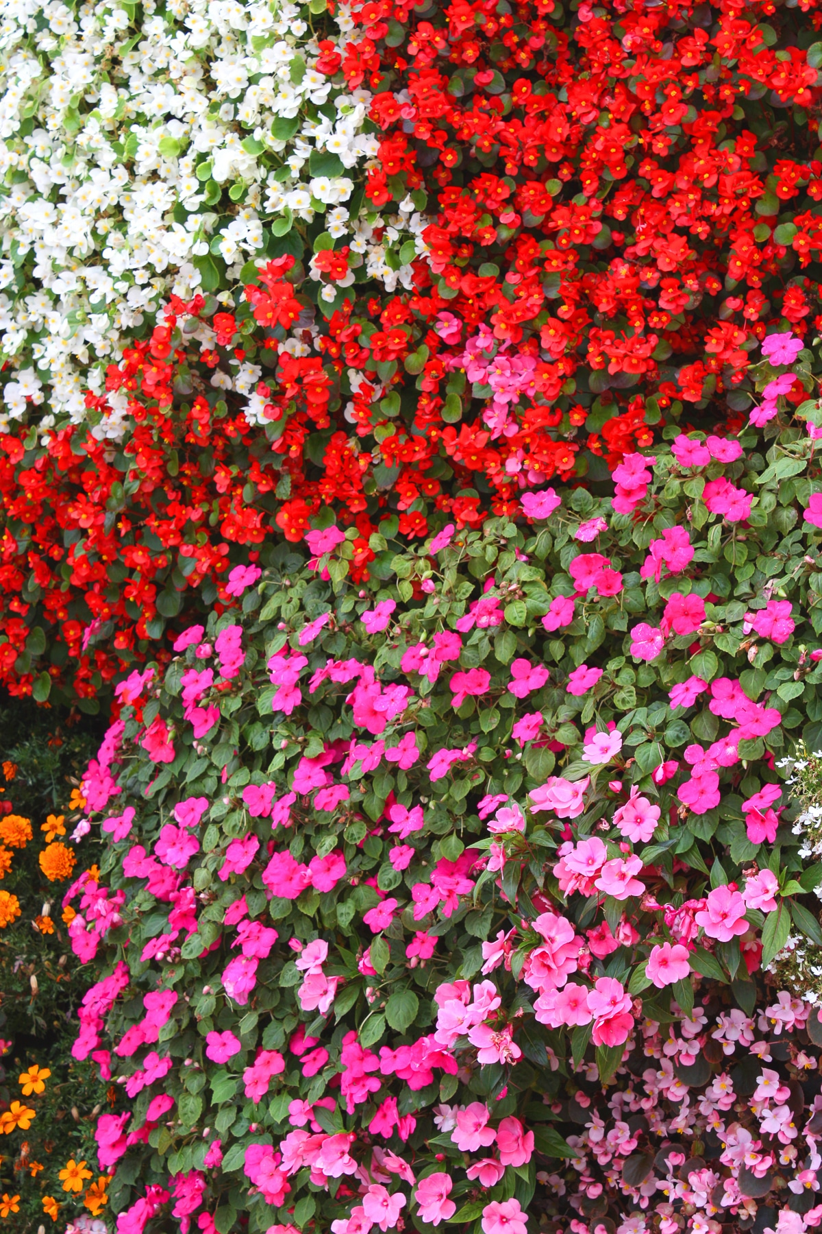 A carpet of pink, red, and white Impatiens flowers with dark green leaves blooming in the shade