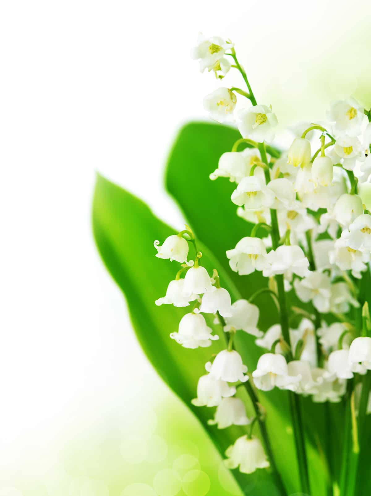 Up close photo of tiny bell like flowers on a lily of the valley plants against dark green leaves and white blown out background blooming in the shade