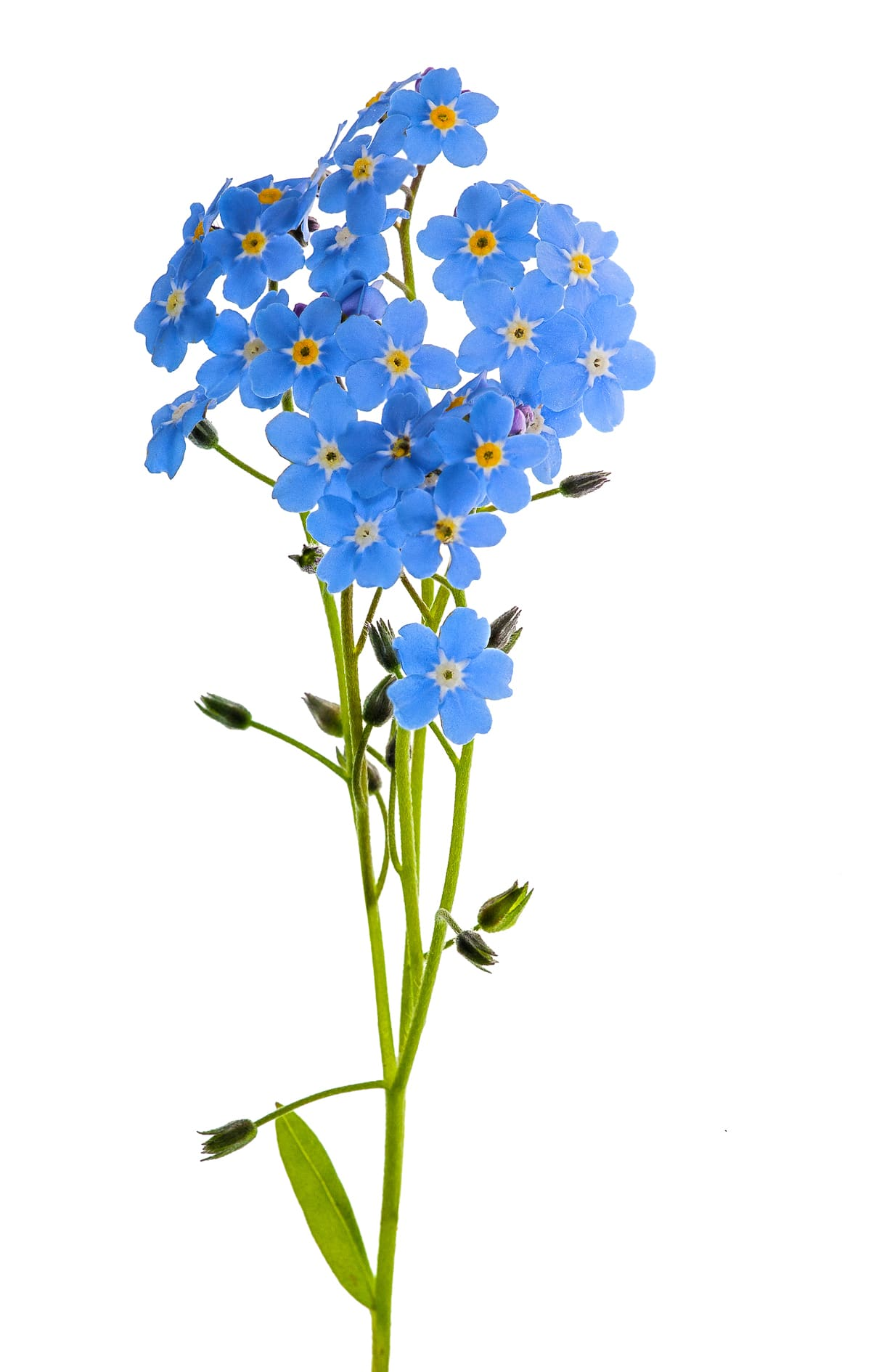 Bright vibrant corn flower blue forget me not flowers isolated against a bright white background