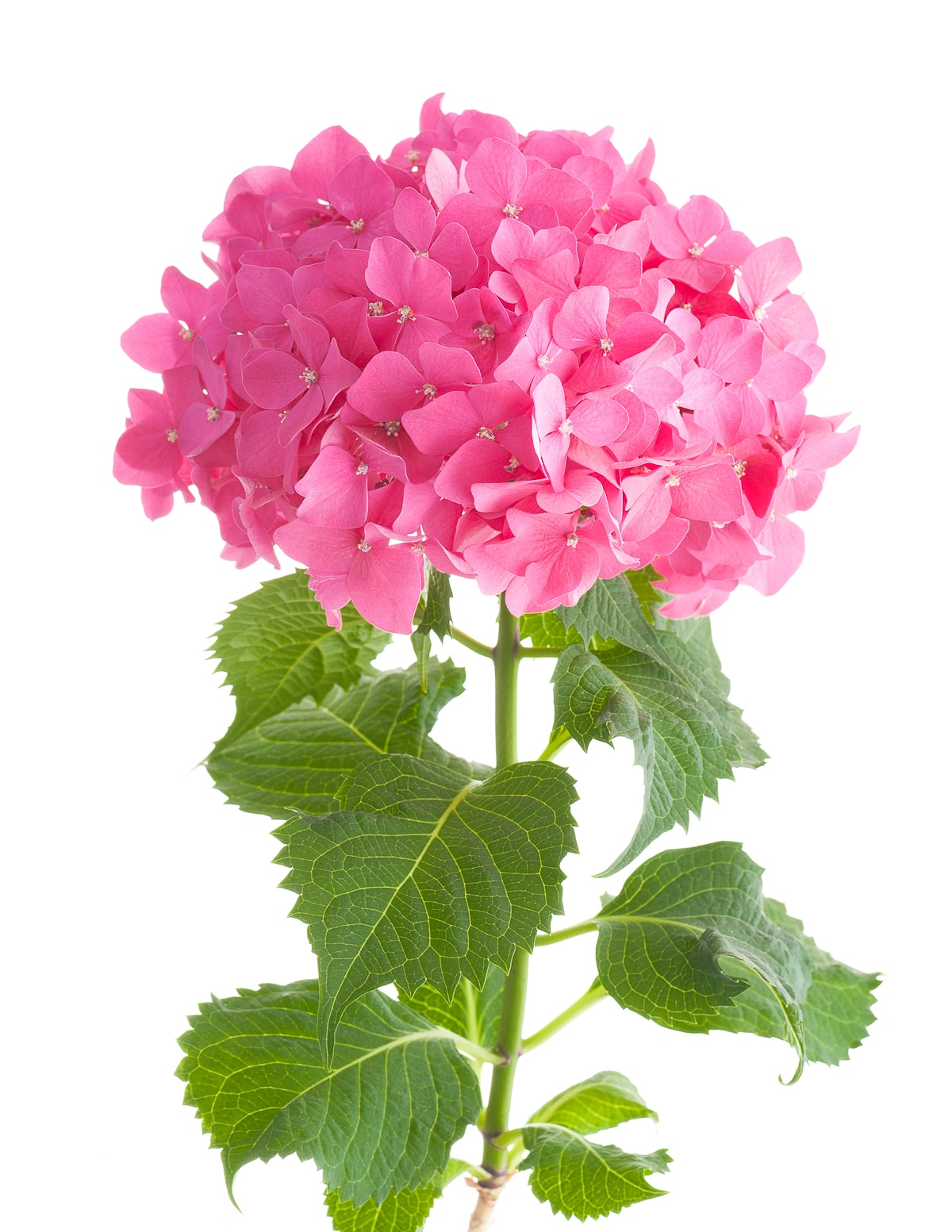 A bright pink Hydrangea flower head with soft green leaves against a bright isolated bright white backgroud