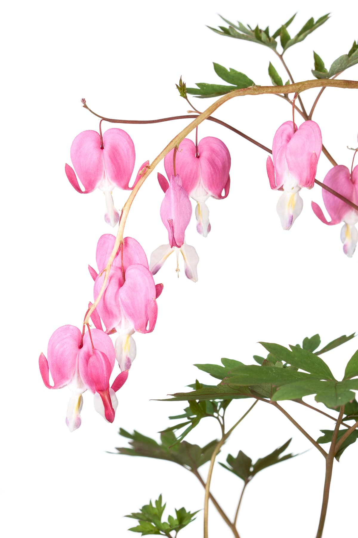 Pink heart shaped flowers hanging from a wooden stem.  Bleeding heart plant against a bright white isolated background