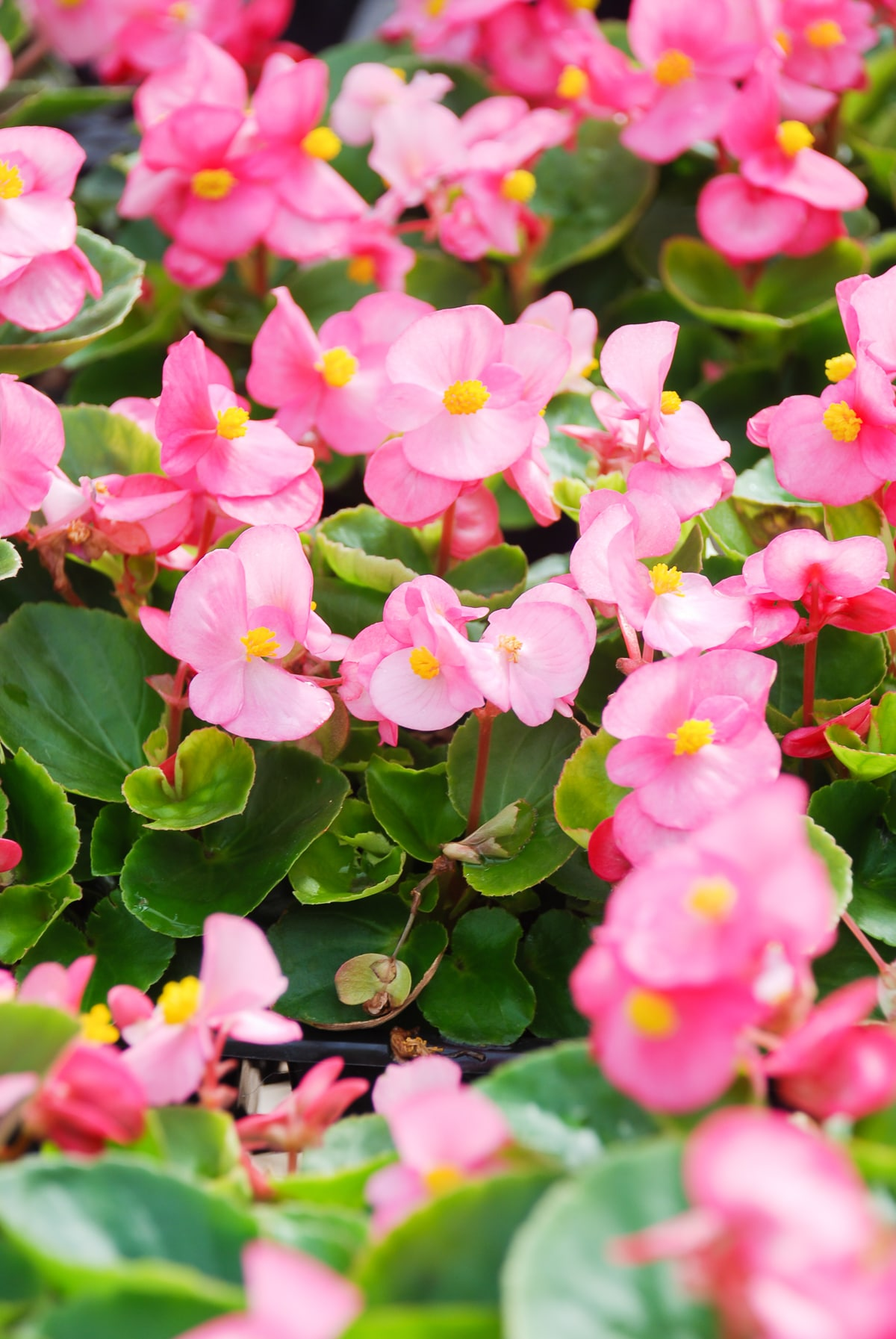 Small Bright pink  flowers with lemon yellow centres  against chartreuse green leaves.  Begonias blooming in the shade.