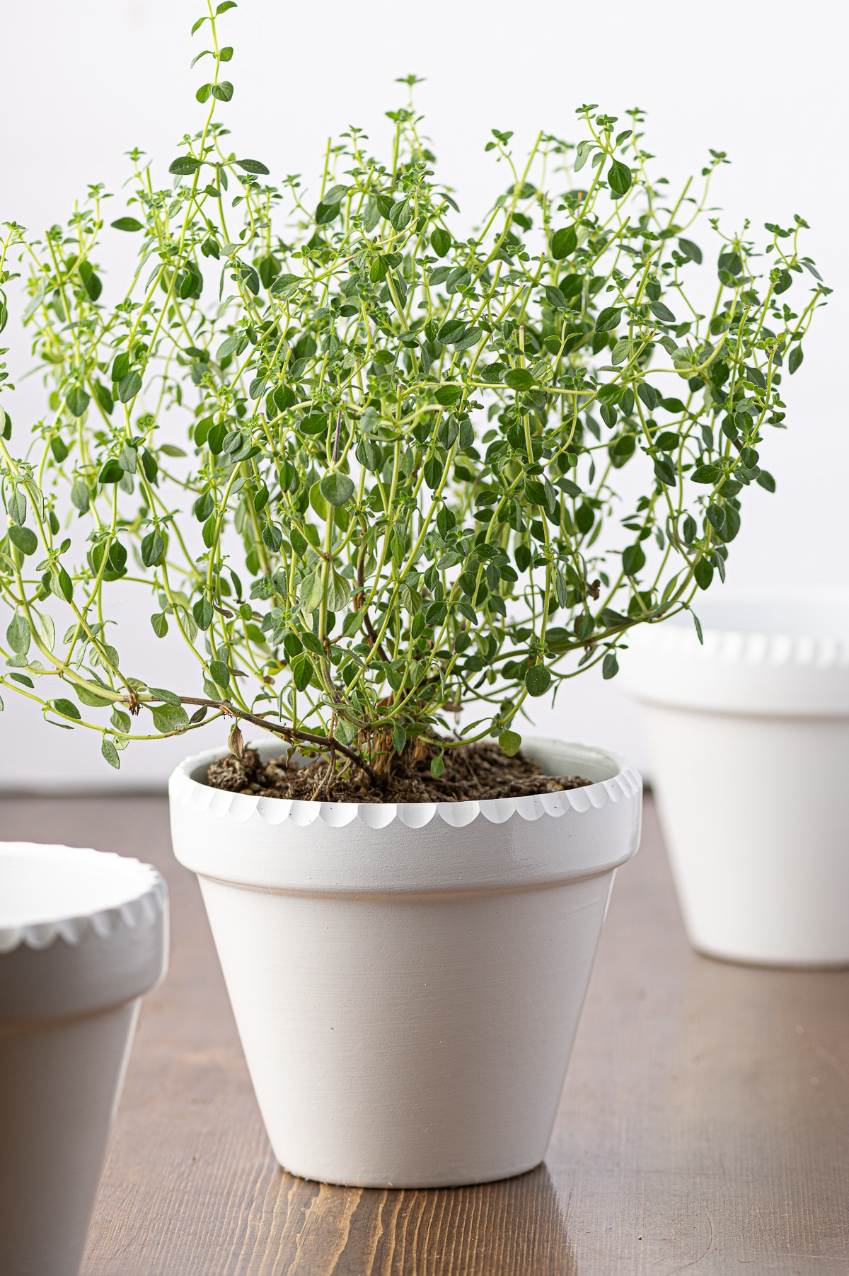 Shiny painted herb pots with scalloped edges with a small bright green thyme plant.