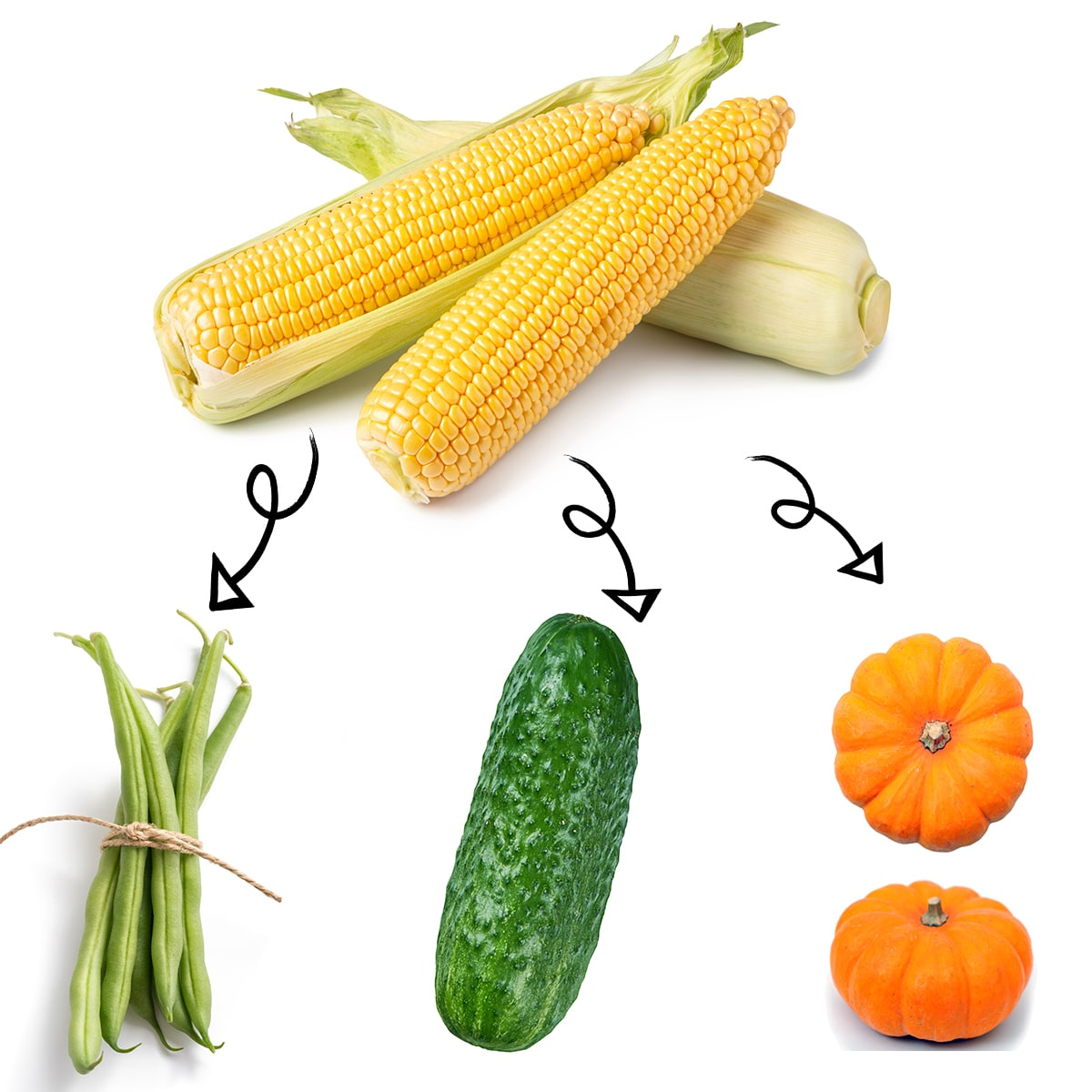 Bright white graphic of three peeled ears of corn with arrows linking it to a bundle of green beans, a ripe cucumber, and bright orange mini pumpkins.