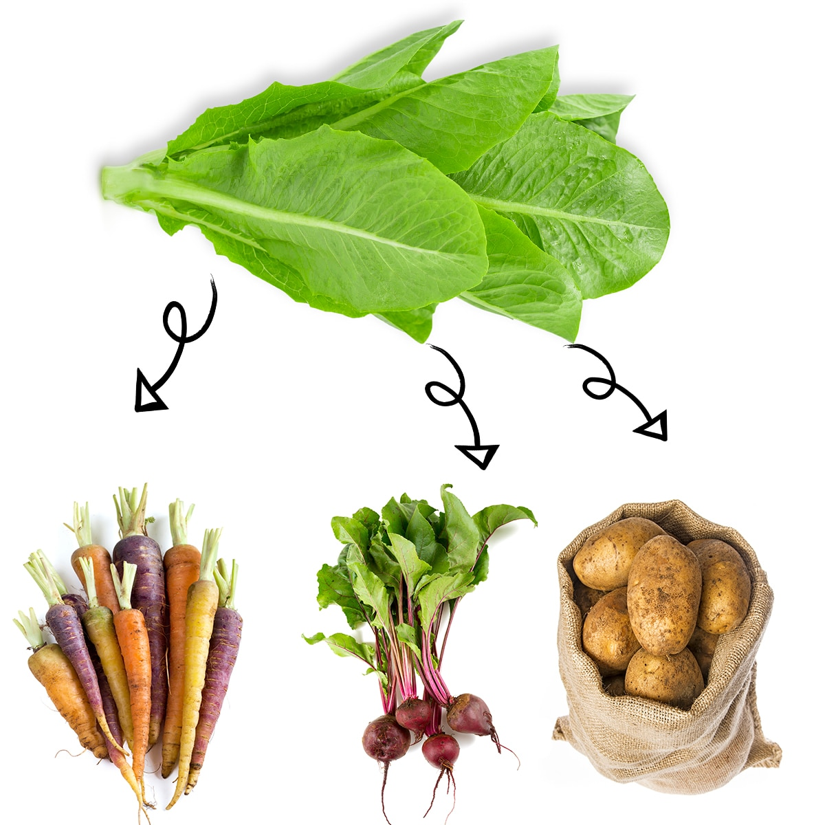 Bright white graphic of lettuce leaves with arrows linking it to carrots, a bundle of beets, and a sack of russet potatoes.
