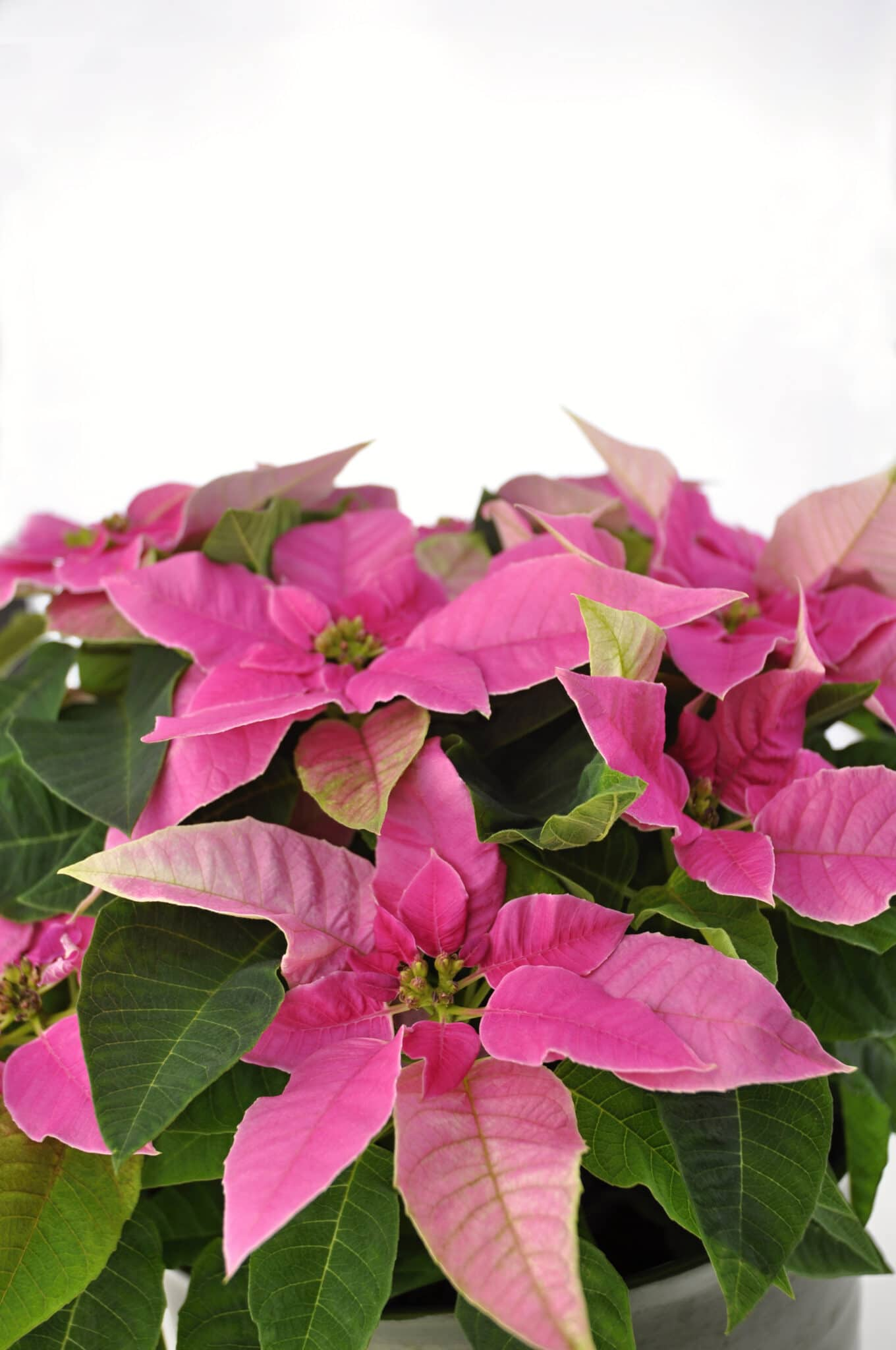 pink poinsettia with dark green leaves in a terracotta pot isolated against a bright white background.