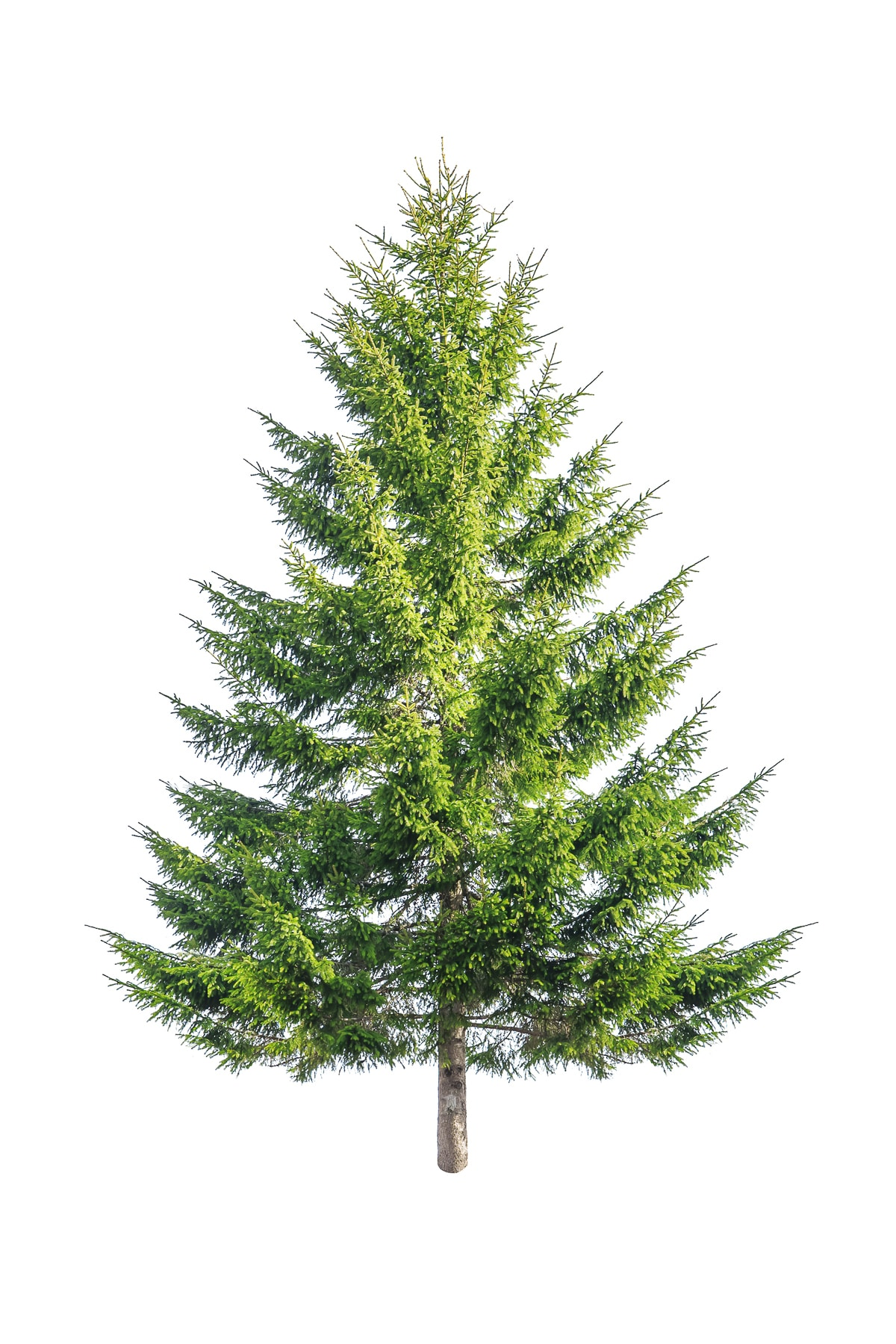 Green fir tree isolate on white background