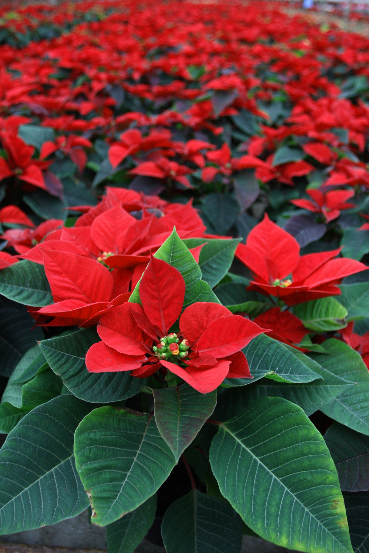 Bright red poinsettia with dark green leaves in a terracotta pot isolated against a bright white background.