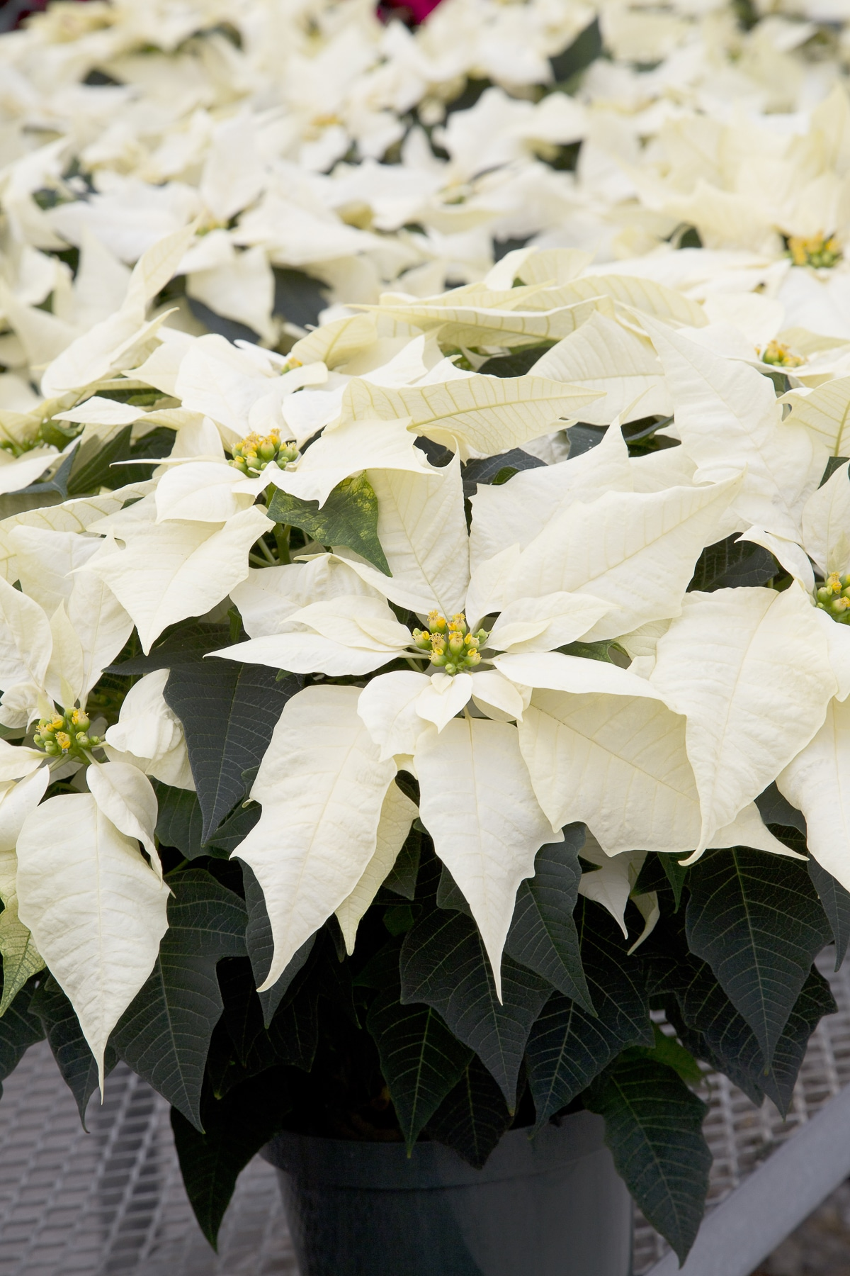 Cream colored  Christmas poinsettias.
